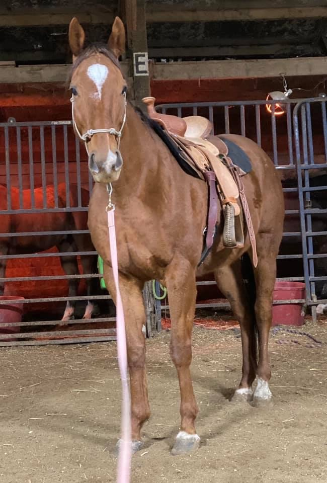 Sweet Platinum in western saddle