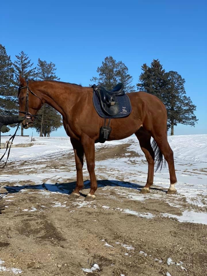 Sweet Platinum dressage saddle 2